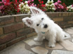 Westie named Shadow