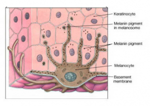 Skin cells and melanocytes